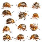 Composition Of Colorado Potato Beetles Stock Photos