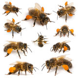 Composition Of Western Honey Bees Royalty Free Stock Photography