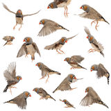 Composition Of Zebra Finch Flying Stock Image