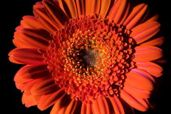Composition orange 1. de fleur. Photos stock