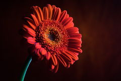 Composition orange 5. de fleur. Image stock
