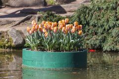 Composition of orange tulips on a floating platform in a garden Stock Photo