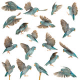 Composition of Pacific Parrotlet, Forpus coelestis, flying stock image