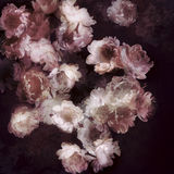 Composition of peonies. On a dark background Royalty Free Stock Photography