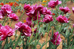 Composition of pink tulips in the garden. Peony purple tulip on a green background. Tulip with streaks on leaves. Royalty Free Stock Image