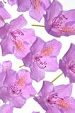 Composition of purple rhododendron flower petals Royalty Free Stock Photos