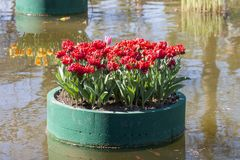 Composition of red tulips on a floating platform in a garden Royalty Free Stock Images