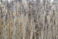 Composition serrée des roseaux d'étang. Photographie stock libre de droits