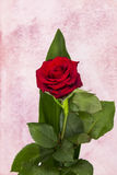Composition single red rose. Single red rose: floral composition Royalty Free Stock Image