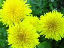 Background of dandelions Stock Photo
