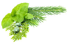 Composition of spruce.Spruce,fir,juniper,mint isolated. Royalty Free Stock Photos
