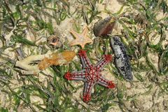 Composition of starfish and seashells in salt water and algae of the Indian Ocean stock photography