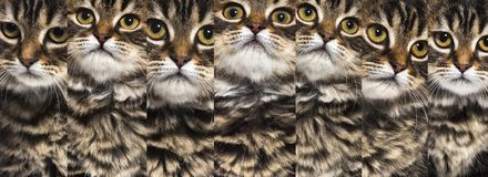 Composition of stripped kitten mixed-breed cat portraits, isolat. Ed on white Stock Photos