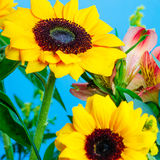 Composition with sunflowers. Blue background. Royalty Free Stock Photo