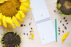 Composition with sunflowers and empty sheets of notepad Stock Photography