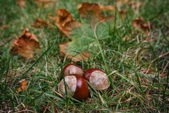Composition of three chestnuts lying on green grass with yellow leaves. Three chestnuts in geometric form lie on the green grass, surrounded by fallen yellow royalty free stock photography