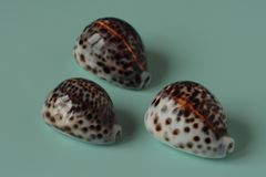 Three seashells cowrie on a light blue-green background 2 royalty free stock images