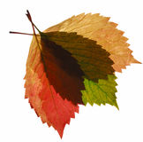Composition from transparent autumn leaf stock photography