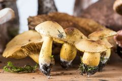 Composition with Tricholoma sulphureum, sulphur knight. On a wooden board Royalty Free Stock Photography