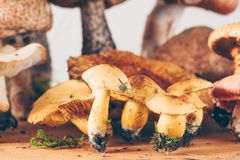 Composition with Tricholoma sulphureum, sulphur knight. On a wooden board Royalty Free Stock Photo