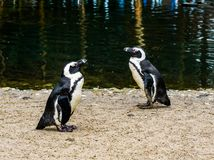 Penguins standing at the water side and passing each other by, endangered bird specie from the coast of Africa stock photo