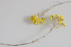 Composition with two beautiful withered yellow flowers Royalty Free Stock Images