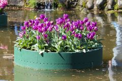 Composition of tulips on a floating platform in a garden Stock Photos