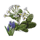 Composition with white primula and violet muscari flowers and green leaves. Hand drawn colored sketch with sping flowers royalty free illustration