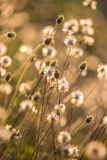 Composition with wild grass in bright sunset counter light. The field of mexican daisy Stock Photo