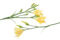 Composition of yellow day lilies. Beautiful yellow daylilies isolated on white background Stock Photos