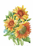 The composition of yellow sunflower painted in watercolor for your design.  Royalty Free Stock Photography