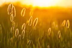 Composizione astratta con erba selvatica Fotografia Stock