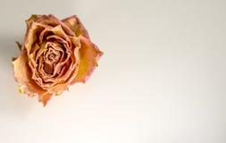 Composizione astratta - fine secca della rosa su Fotografia Stock Libera da Diritti