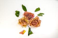 Composizione astratta - rose secche con le foglie verdi Immagini Stock Libere da Diritti