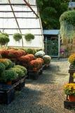 Composizione in autunno con i crisantemi Fotografie Stock Libere da Diritti