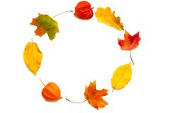 Composizione in autunno Pagina fatta delle foglie di acero di autunno e dei fiori del physalis Immagine Stock