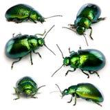 Composizione degli scarabei di foglio, Chrysomelinae Fotografia Stock Libera da Diritti