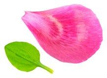 Composizione di Minimalistic della foglia verde del plantano e del petalo rosa della peonia su fondo bianco Fotografia Stock