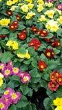 Composizione floreale primaverina giallo, rosso, blu, rosa sulle foglie verdi fotografia stock