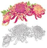 Composizione nel fiore di tre crisantemi illustrazione vettoriale