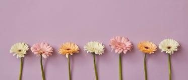 Composizione nella primavera dalle gerbere fragranti fresche su un fondo di carta rosa Fotografia Stock