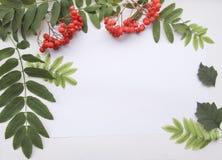 Composizione piana in disposizione con le foglie della sorba e ashberry ed il foglio di carta Immagini Stock Libere da Diritti