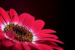 Composizione rossa 3. nel fiore. Fotografie Stock Libere da Diritti