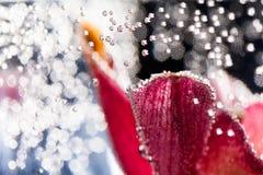 Composizione subacquea astratta con i petali confusi dell'orchidea Fotografie Stock