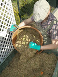 Compost bin. Female gardener dumping cut lawn grass into green plastic compost bin Royalty Free Stock Image