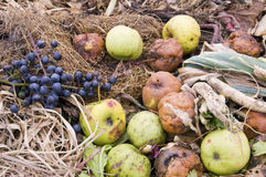 Compost Pile. Apples and red grapes on a compost pile in a vegetable garden Stock Images