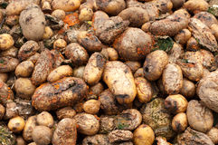 Compost Pile of Rotten Potatoes Stock Photography