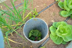 Compost pipe in organic vegetable garden. A compost pipe in an organic vegetable garden with drip tape irrigation Royalty Free Stock Image