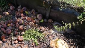 Compost pit. Androtten apples. netting