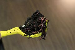 COMPOST WORMS IN VERMICASTINGS ON YELLOW SCOOP PROCESSING FOOD WASTE. THIS ORGANIC METHOD HELPS REMOVE FOOD WASTE FROM Stock Photography